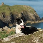 Dog on cliff. Pembrokshire